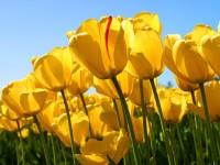 543_Tulips.jpg